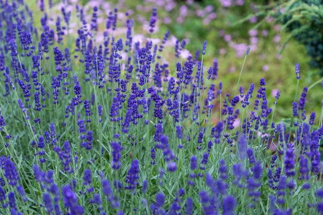 Lavender-Flowers-in-a-Field.jpg